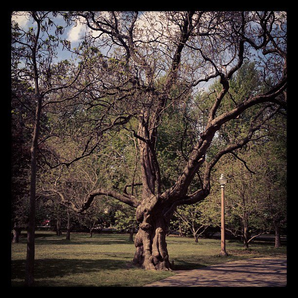 Catalpa Tree in Tower Grove Park