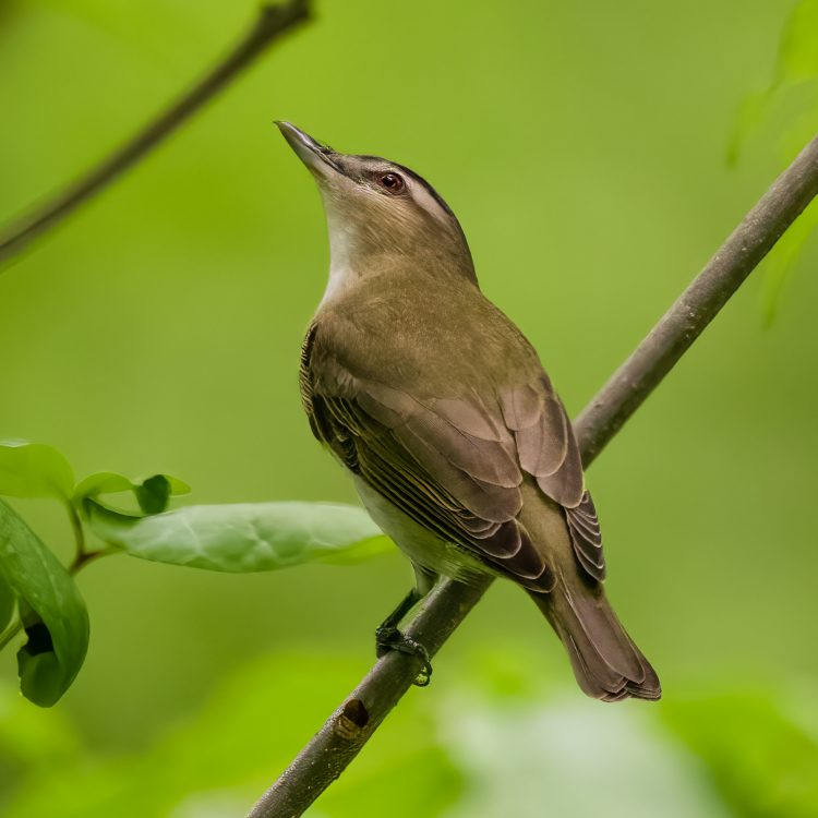 Red-eyed Vireo, Forest Park