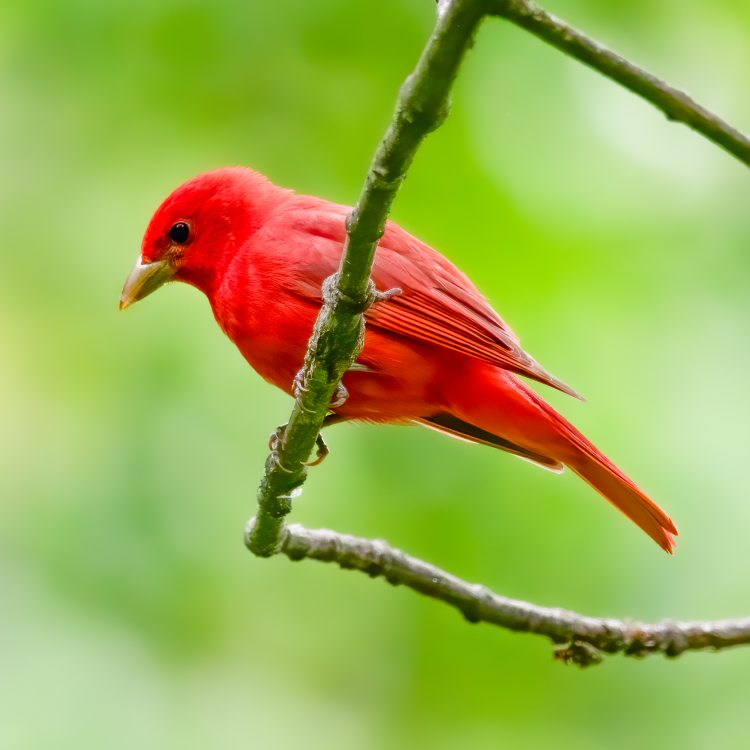 Summer Tanager, Forest Park