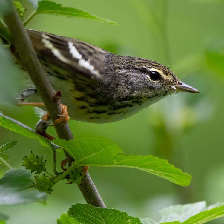 Blackpoll Warbler, Forest Park