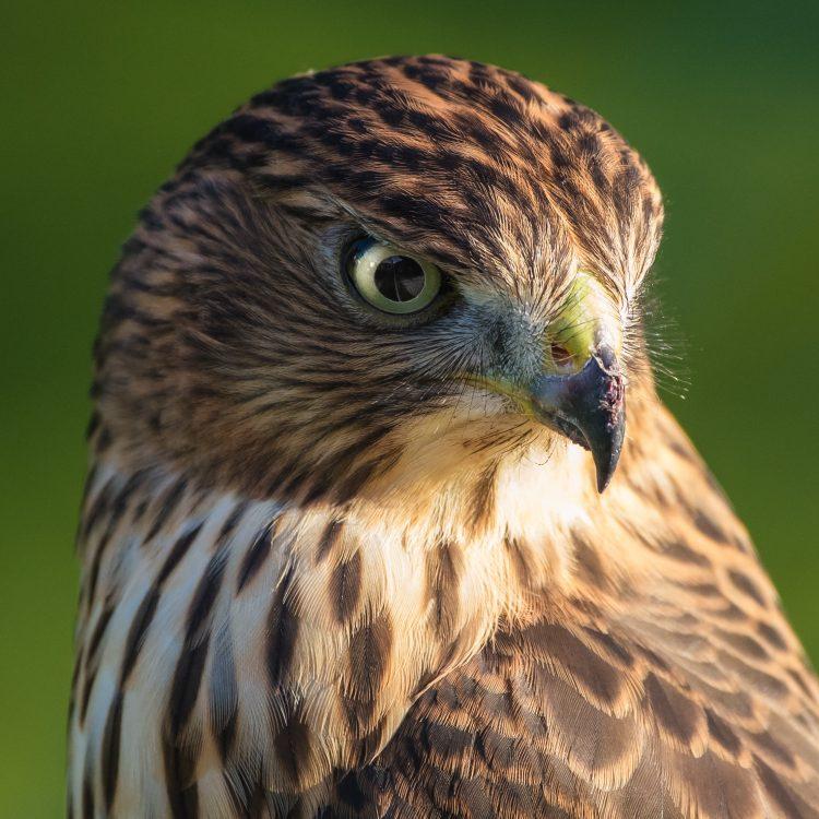 Cooper's Hawk, Smiley Feeders