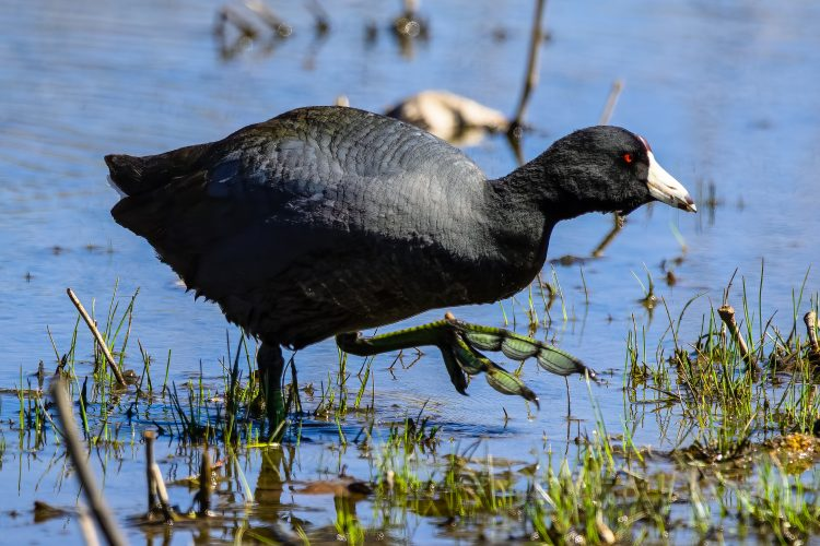 American Coot, Little Creve Coeur Marsh