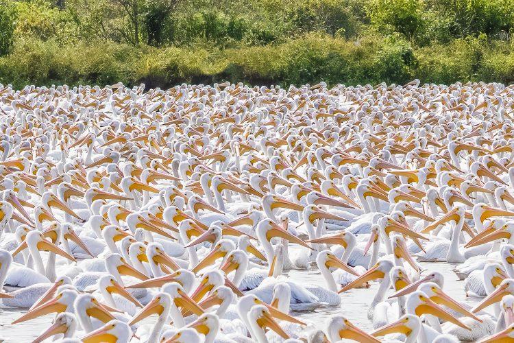 American White Pelicans, BK Leach