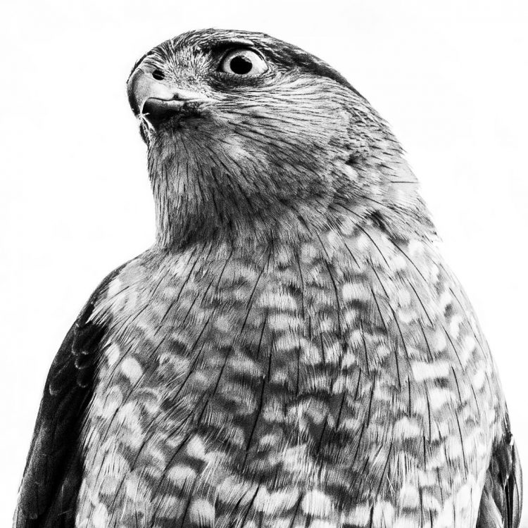 Cooper's Hawk, Campbell House Museum