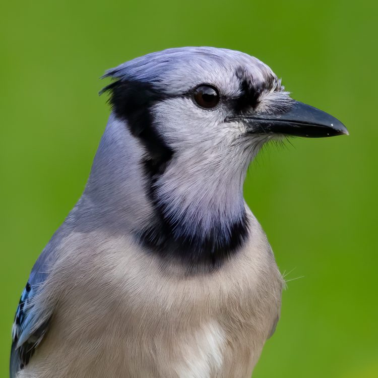 Blue Jay, Smiley Feeders
