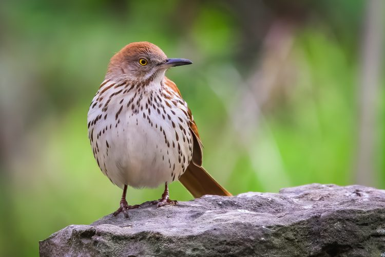 Brown Thrasher, Tower Grove Park