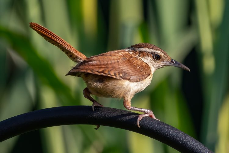Carolina Wren, Smiley Feeders