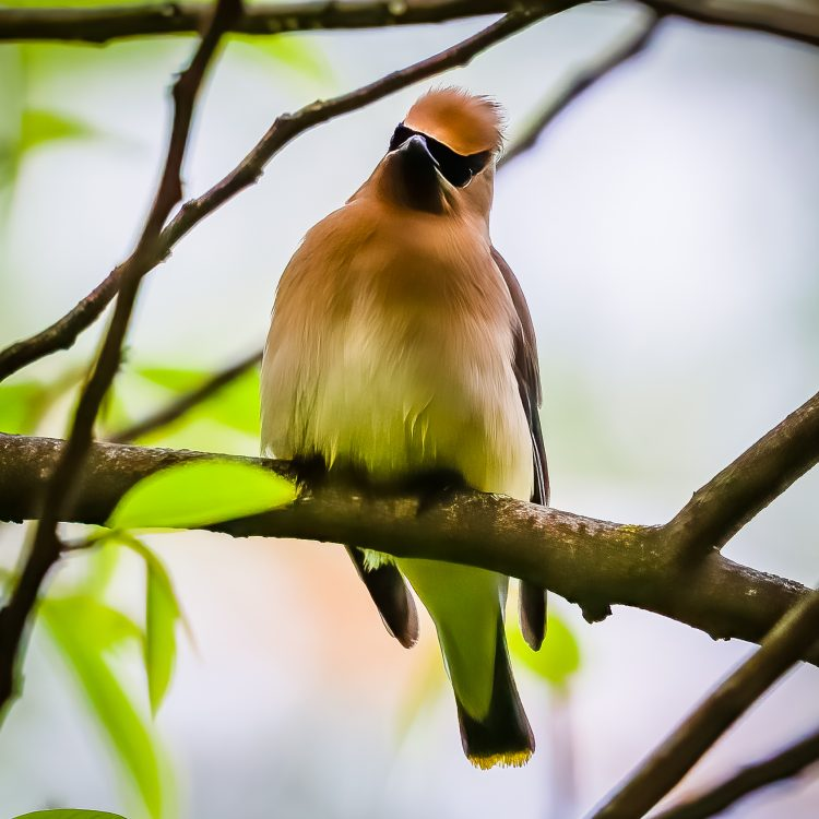 Cedar Waxwing, Tower Grove Park