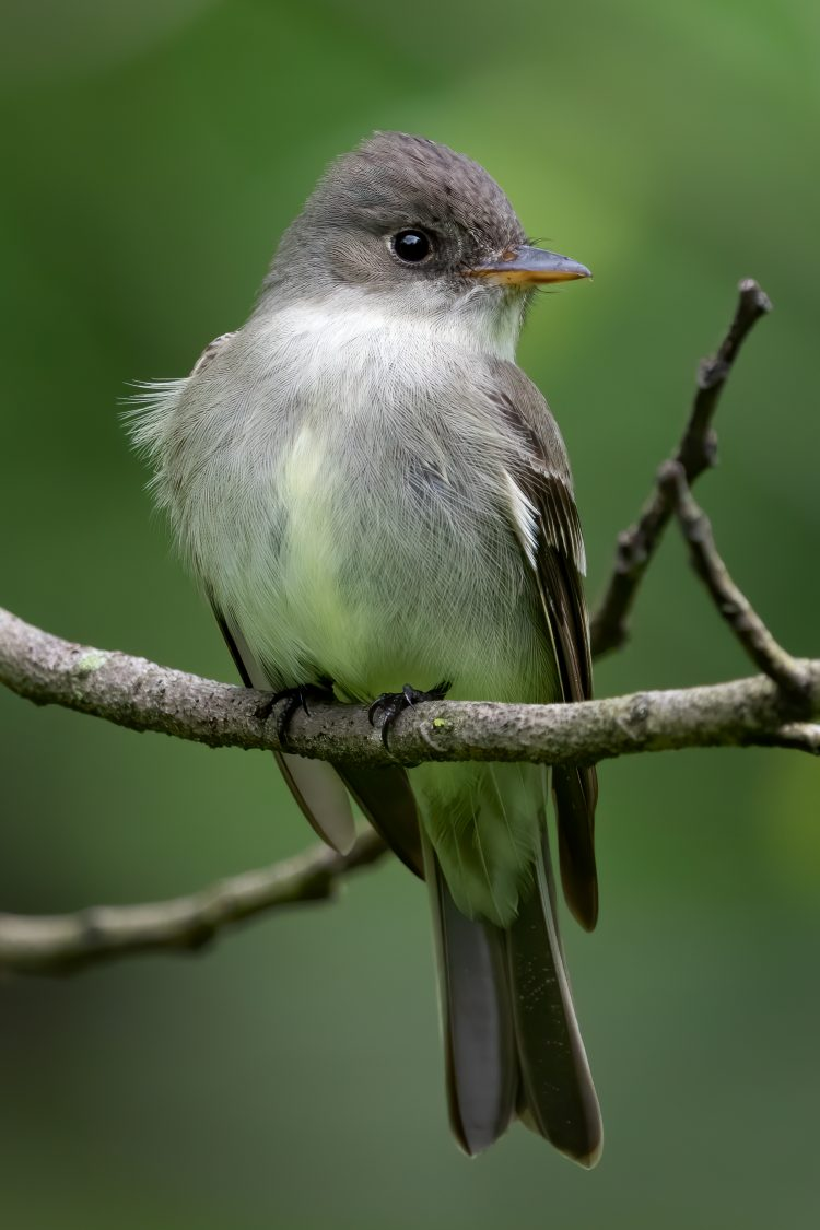 Eastern Wood-pewee, Tower Grove Park