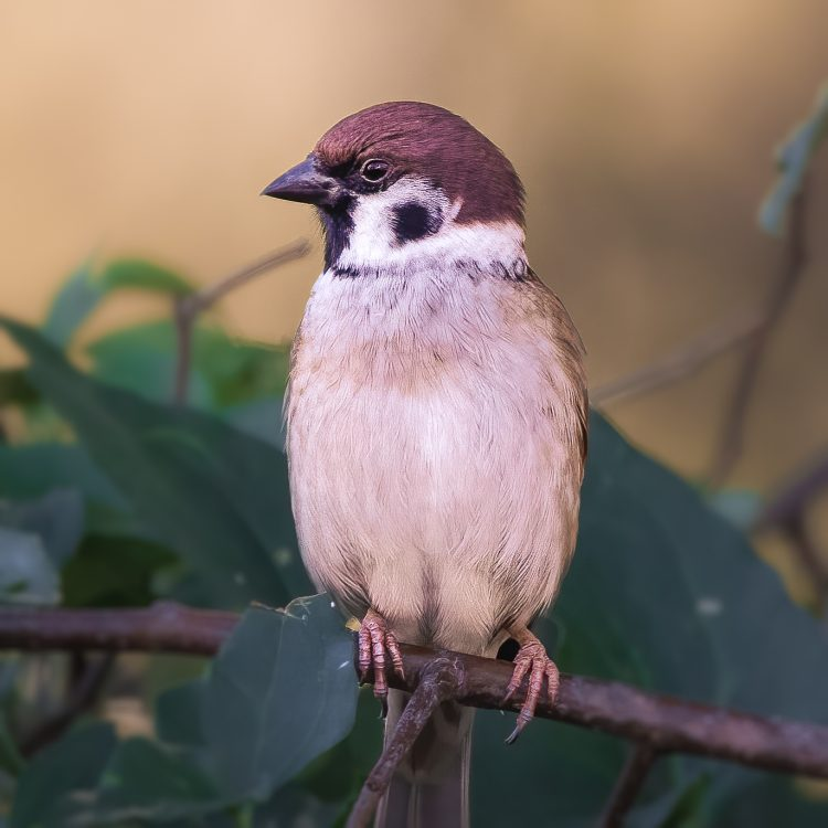 Eurasian Tree Sparrow, Smiley Feeders