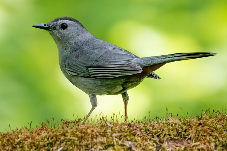 Gray Catbird, Forest Park