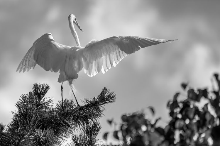 Great Egret, St. Louis City