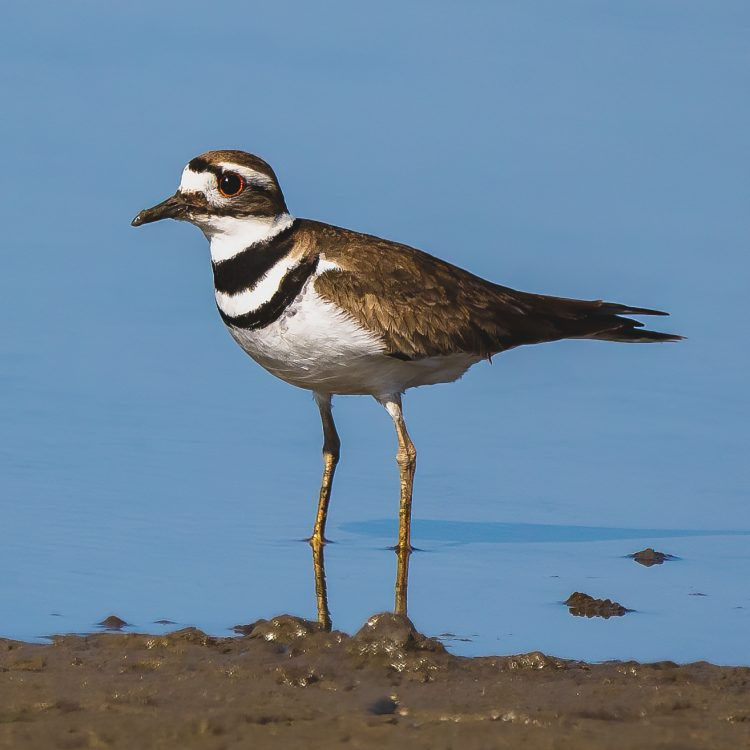 Killdeer, St. Charles County