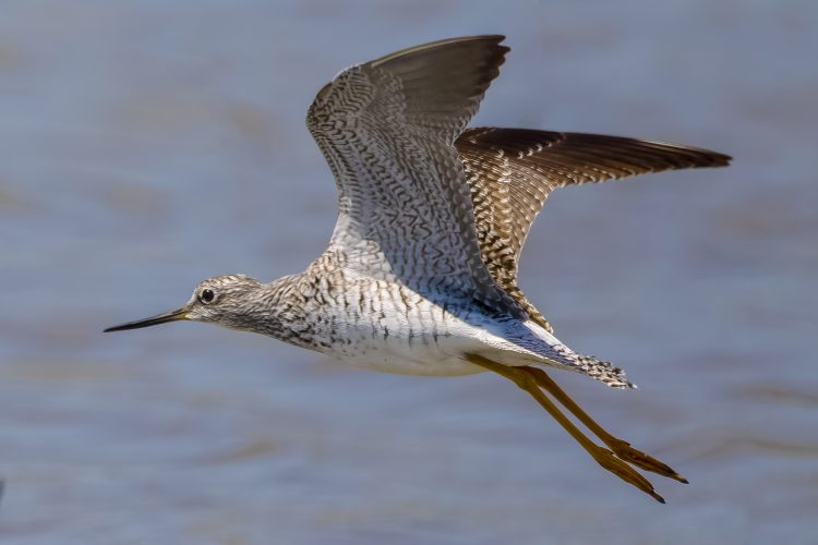 Lesser Yellowlegs, Columbia Bottom CA