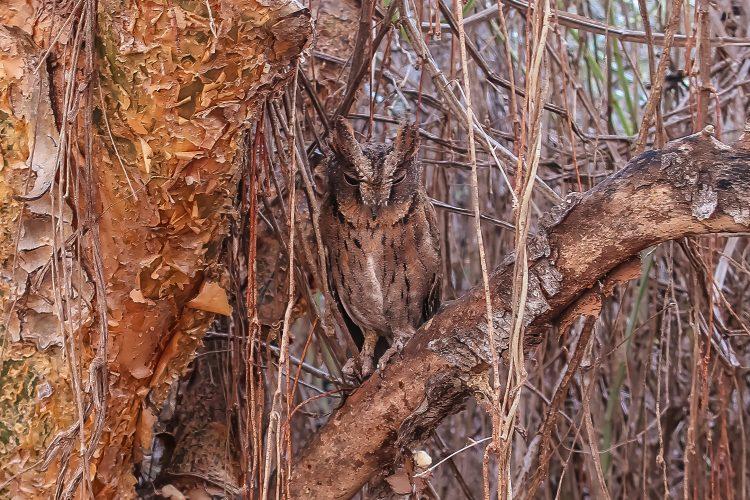 Malagasy Scops Owl, Berenty, Madagascar