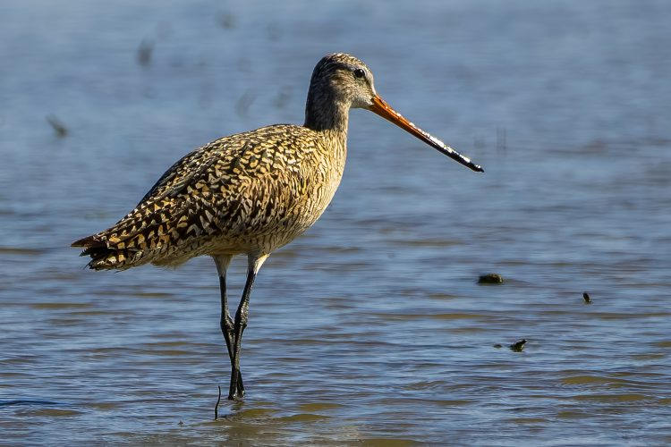 Marbled Godwit, St. Charles County