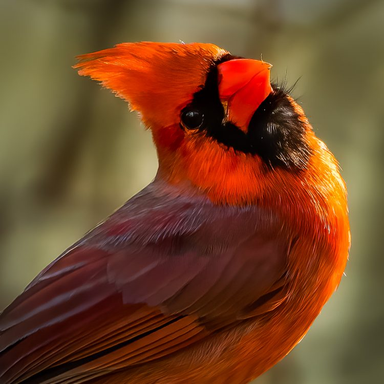 Northern Cardinal, Smiley Feeders