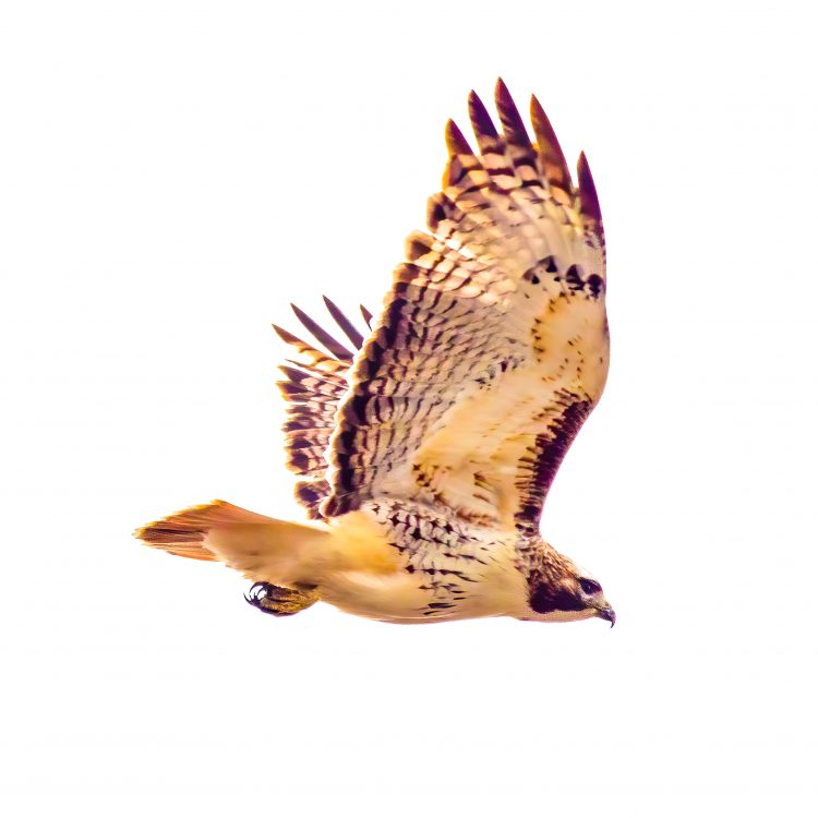 Red-tailed Hawk, St. Charles County