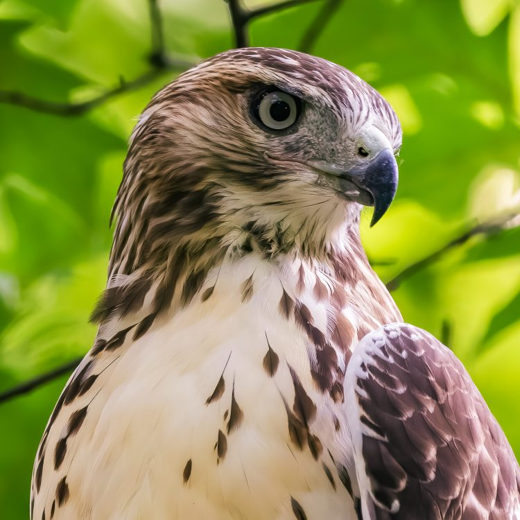 Red-tailed Hawk, Tower Grove Park