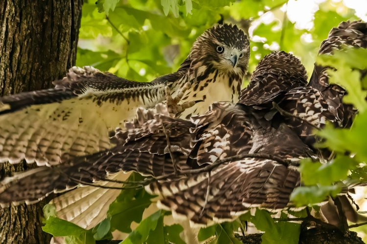 Red-tailed Hawks, Tower Grove Park