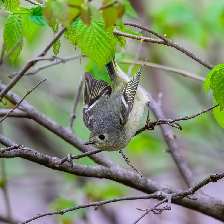 Ruby-crowned Kinglet, Tower Grove Park