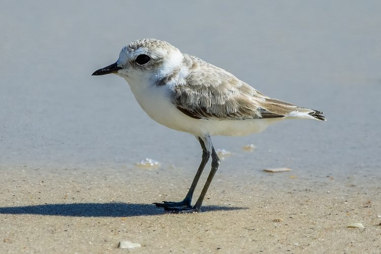 Snowy Plover, Orange Beach, AL