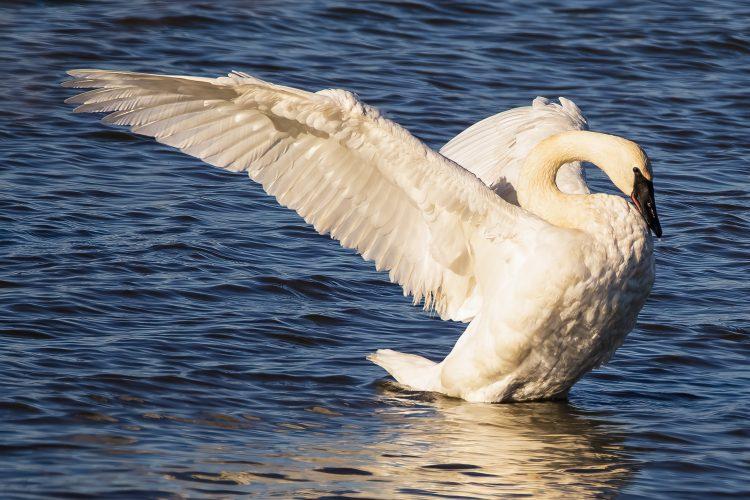 Trumpeter Swan, Riverlands