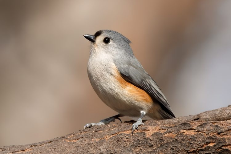 Tufted Titmouse, Powder Valley