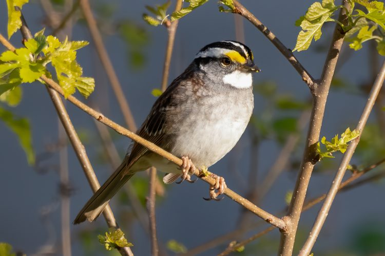 White-throated Sparrow, Smiley Feeders