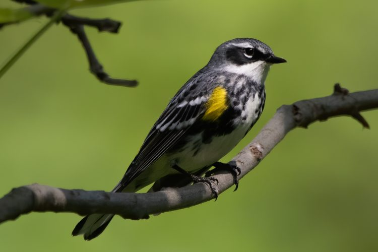 Yellow-rumped Warbler, Forest Park